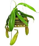 Nepenthes sanguinea - Medium Hanging Basket