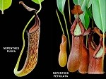 Nepenthes fusca x petiolata - LARGE Hanging Basket - ONLY A FEW AVAILABLE!!
