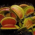Venus Flytrap 'B-52' - RARE COLLECTOR'S PLANT - Small Potted