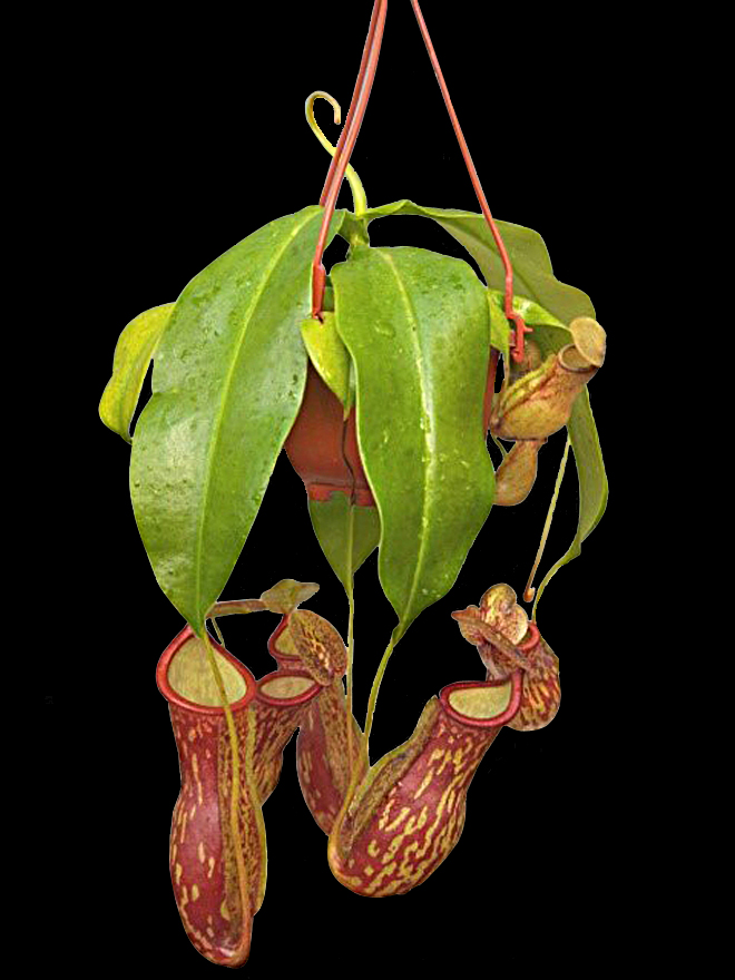 Plant Spotlight - Nepenthes 'Gaya'