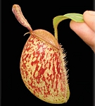 Nepenthes ampullaria 'Bronze Nabire' - BE-3304