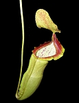 Nepenthes spathulata x campanulata 'Best Clone' - BE-3796