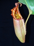 Nepenthes robcantleyi 'Queen of Hearts' x veitchii 'Bareo, Striped' - Large pitchers with candy-striped peristomes - BE-3933