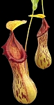 Nepenthes burkei 'Halcon' - NEW LOWER PRICE!! BE-3254