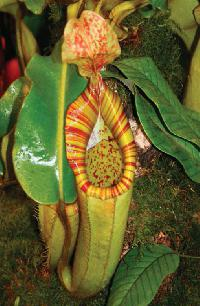 Nepenthes chaniana x veitchii - AWESOME PERISTOME! BE-3137 PRE-SALE