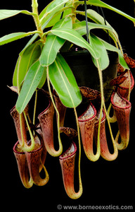 Nepenthes glandulifera 'assorted clones' BE-3691