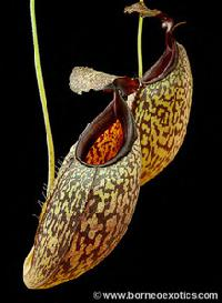 Nepenthes maxima x aristolochioides 'assorted clones' - BE-3578