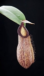 Nepenthes sibuyanensis x hamata -  VERY RARE PLANT!! - BE-3562