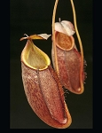 Nepenthes gymnamphora 'Talakmau Purple' - BE-3078