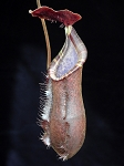 Nepenthes muluensis x lowii - single clone - BE-3128; ONLY A FEW AVAILABLE!!