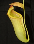 Nepenthes merrilliana x campanulata - Huge and green! BE-3473