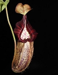 Nepenthes robcantleyi x spectabilis 'Giant' - Large pitchers with candy-striped peristomes!! BE-3754