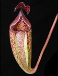 Nepenthes burbidgeae x (maxima x talangensis) - BE-3764