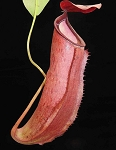 Nepenthes talangensis x reinwardtiana 'assorted clones' - BE-3780