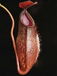 Nepenthes ramispina x aristolochioides 'assorted clones' - BE-3926