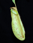 Nepenthes spectabilis x ampullaria - BE-3932
