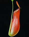 Nepenthes ampullaria x reinwardtiana - Medium Hanging Basket - BE-3938