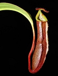 Nepenthes ramispina x robcantleyi - LARGE, dark pitchers! BE-3939