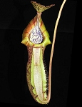 Nepenthes spathulata x (burbidgeae x edwardsiana) - NEW HYBRID of 3 SPECTACULAR SPECIES! BE-3978