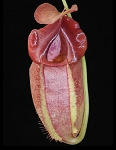 Nepenthes spathulata x tenuis - BE-3981