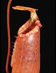 Nepenthes sibuyanensis x (veitchii x lowii) - BE-3986