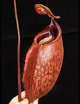 Nepenthes peltata - RARE SPECIES! BE-4025