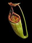 Nepenthes gantungensis 'Palawan, Philippines' - assorted clones