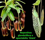 Nepenthes glandulifera x spectabilis 'Bandahara Giant' - SEED-GROWN