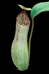 Nepenthes hispida