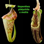 Nepenthes platychila x mollis (hurrelliana)