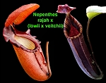 Nepenthes rajah x (lowii x veitchii) - NEW HYBRID of 3 SPECTACULAR SPECIES!