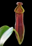 Nepenthes veitchii x edwardsiana - ONLY A FEW AVAILABLE!!