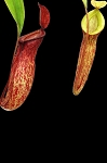 Nepenthes (ampullaria 'Brunei red' x mirabilis var. globosa) x dubia - Medium Hanging Basket