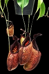 Nepenthes aristolochioides x robcantleyi 'King of Spades' - BE-3695 BE Pre-Sale