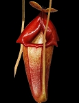 Nepenthes flava - VERY RARE SPECIES - BE-3652