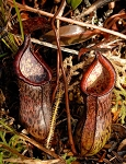 Nepenthes ceciliae - BE-3956 - NEW LOWER PRICE!!