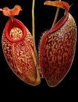 Nepenthes merrilliana x aristolochioides - NEW HYBRID with huge egg-shaped pitchers!! BE-3877