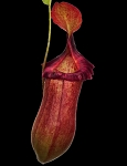 Nepenthes robcantleyi x (sibuyanensis x ventricosa) 'Assorted Clones' - BE-3748