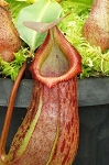 Nepenthes burkei x robcantleyi 'King of Clubs' - Medium Potted - Assorted clones - BE-3752