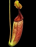 Nepenthes maxima 'Wavy Leaf' x mira 'Cleopatra's Needle' - BEST clone - BE-3753