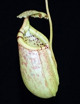 Nepenthes burbidgeae x sibuyanensis 'Best Clone #1' - BE-3885