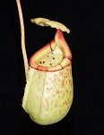Nepenthes burbidgeae x sibuyanensis 'Best Clone #2' - BE-3890