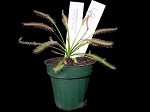 Drosera capensis Medium/Large Potted - 10-PACK SUPER DEAL!!