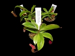 Nepenthes Sampler Set - BIGGER SIZES, and YOU choose the quantity!