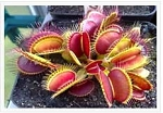 Venus Flytrap 'Australian Red Rosetted' - Deep red traps on a compact plant