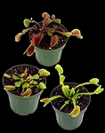 Venus Flytrap COLLECTOR'S Set - RARE and UNUSUAL flytraps!