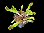 Venus Flytrap 'Green Dragon' - RARELY AVAILABLE!
