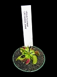 Venus Flytrap 'Leo Songs Jaws' - NEW LOWER PRICE!