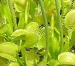 Venus Flytrap 'Yellow' - NEW LOWER PRICE!!