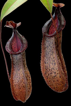 Nepenthes burkei x hamata - Medium Hanging Basket - Assorted Clones...ONLY A FEW AVAILABLE!!
